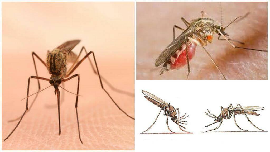 Комар обыкновенный — википедия