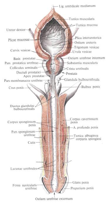 Анатомия мужского мочеиспускательного канала применительно к проблеме его сужений