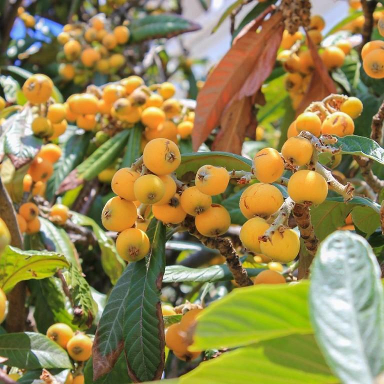 Японская мушмула: что это такое, как выращивать в домашних условиях