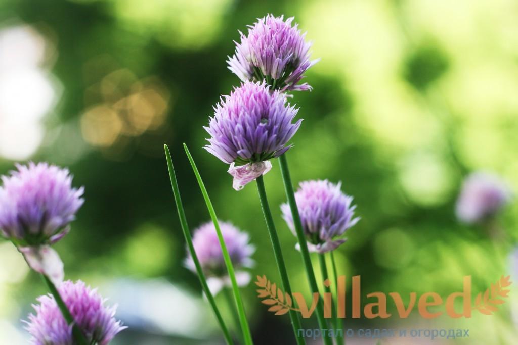 Шнитт-лук – описание с фото резанца; выращивание и полезные свойства