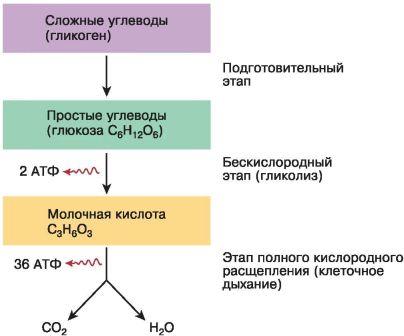 Обмен веществ и энергии в клетке – основное свойство превращения