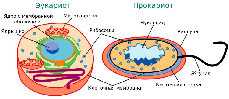 Прокариоты и эукариоты: главные отличия одноклеточных или многоклеточных организмов, их генетический материал и таблица об этом