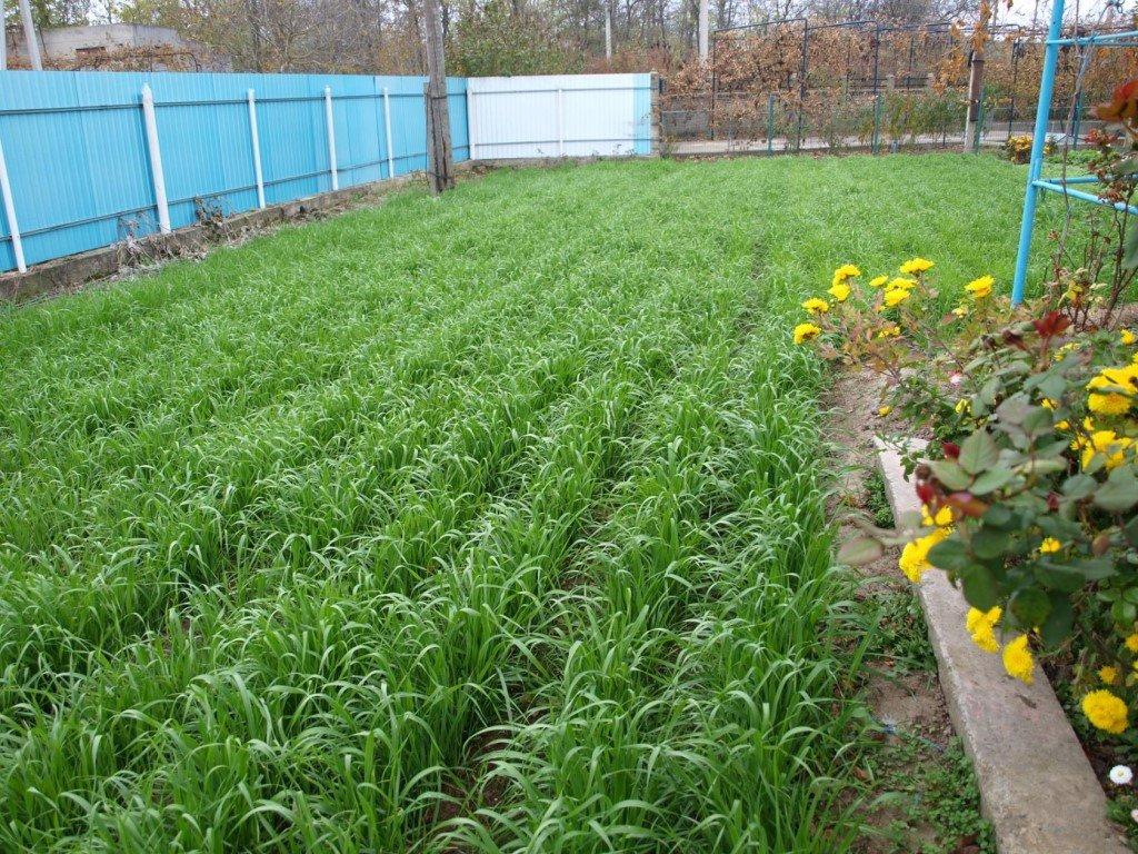Когда и как правильно сеять сидераты – вся информация в одной статье | дела огородные (огород.ru)