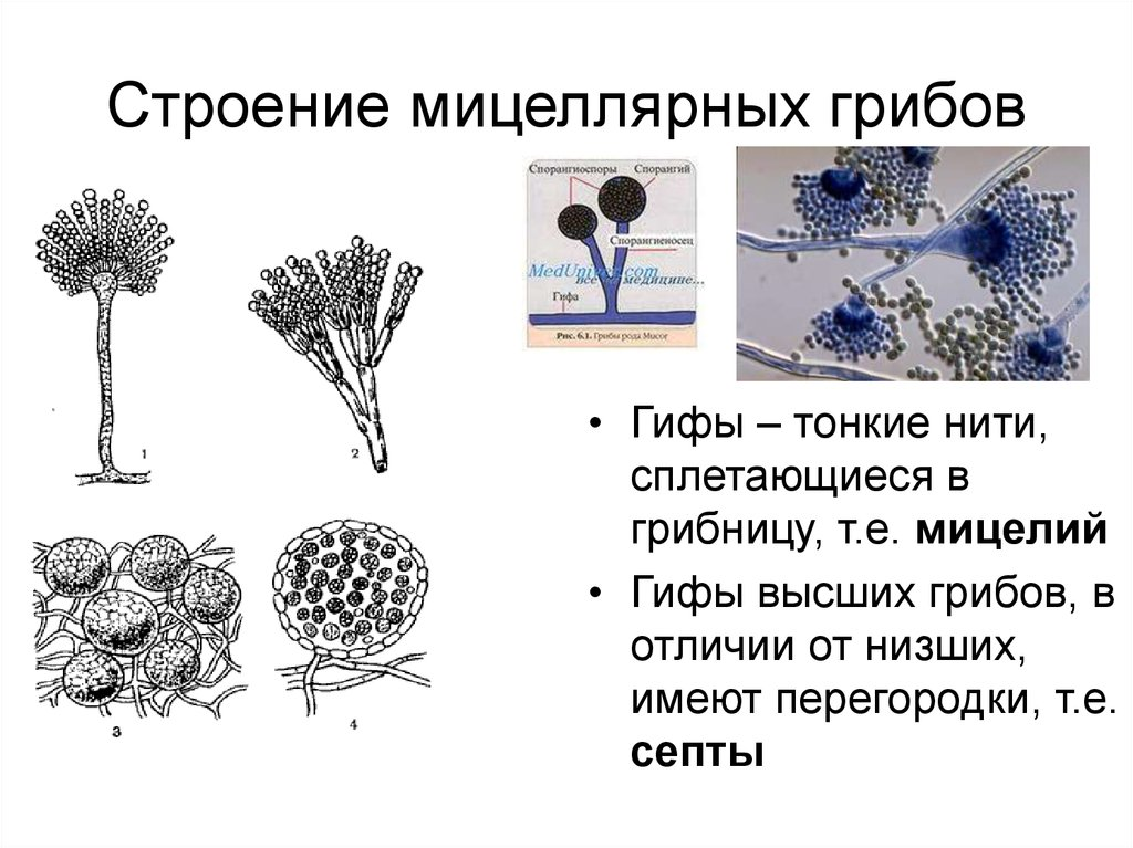 Гифы гриба: что это такое
