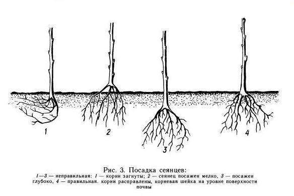 Положение корневой шейки яблони при посадке