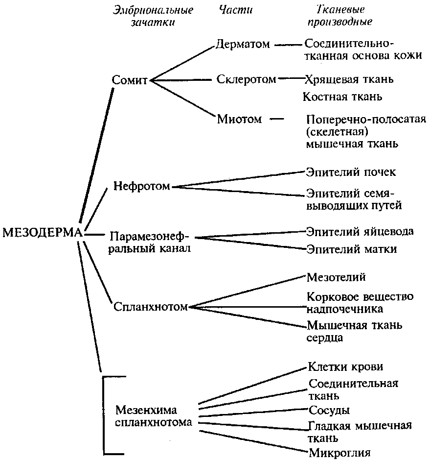 Эктодерма - ectoderm - qwe.wiki