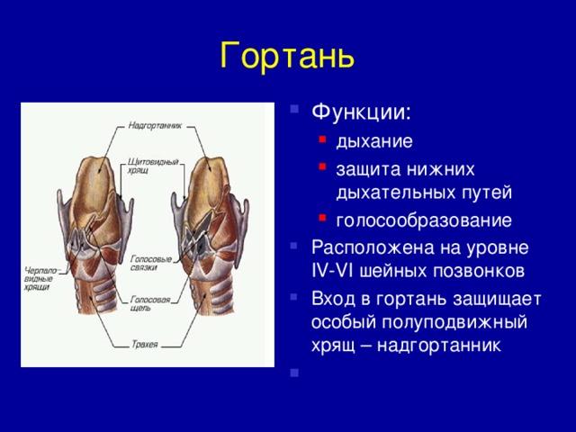 Гортань: функции и строение. функции гортани человека
