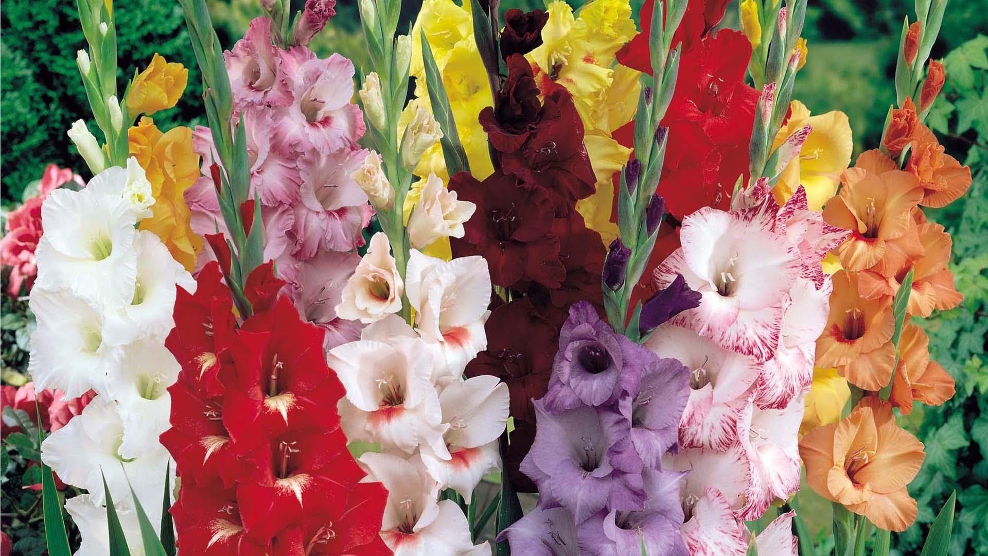 Гладиолус: сорта, посадка, уход и выращивание