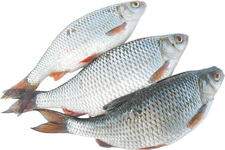 Рыба плотва (сорога): где живет, на что ловится