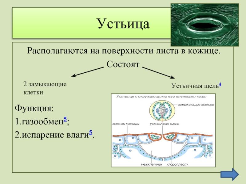 Что такое устьица: особенности строения и функционирования