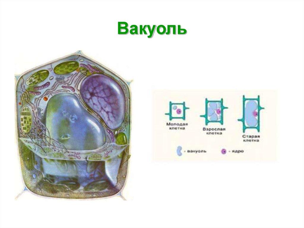 Вакуоль – строение и функции в клетке: что это такое и каковы ее особенности | tvercult.ru