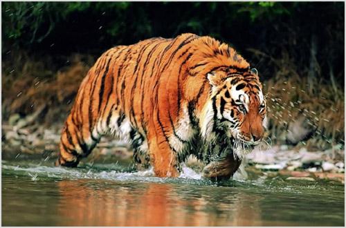 Тигр: все самое интересное: повадки, описание, ареал обитания, видео, фото