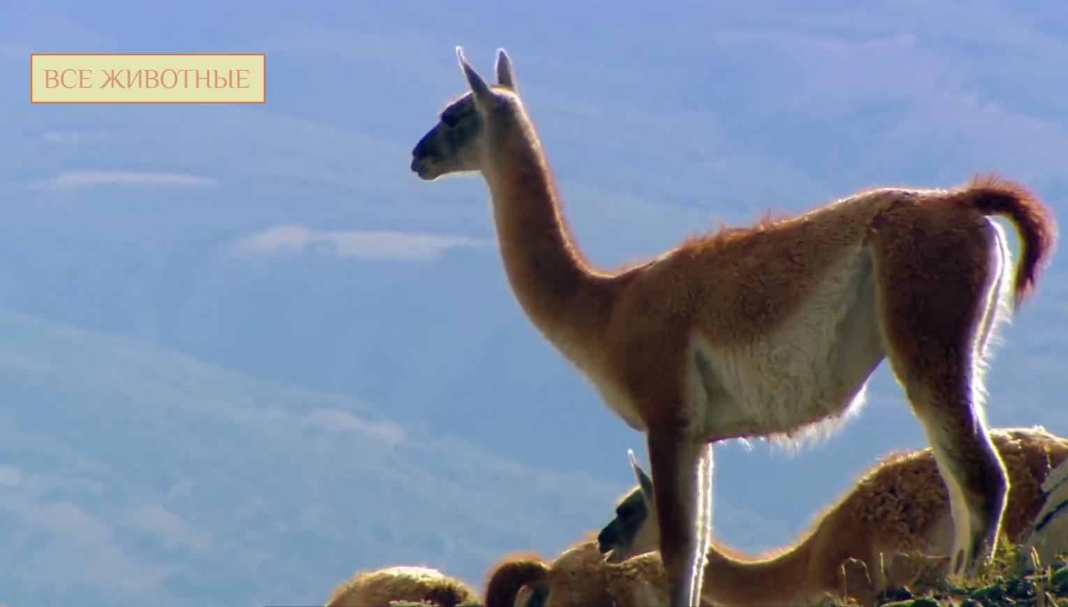 Лама. среда обитания и особенности ламы