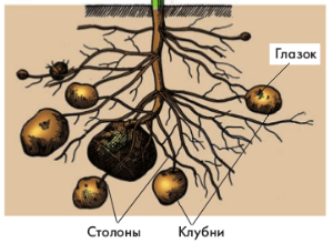 Луковицы, клубнелуковицы, клубни. какая между ними разница? разница между клубнем и луковицей