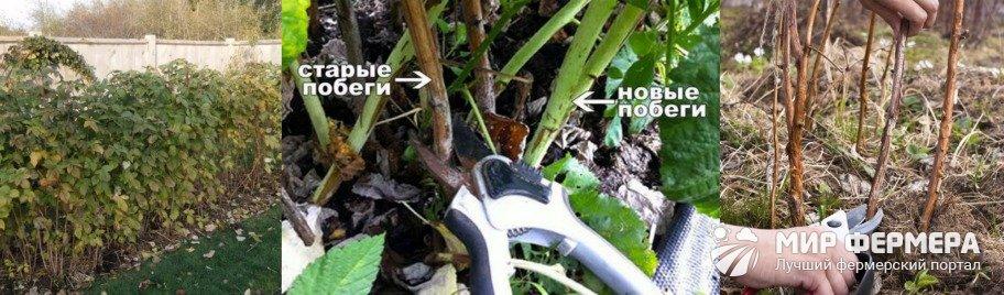 Малиновое дерево: посадка и уход, размножение, фото, видео