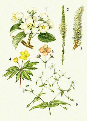 Соцветие. биологическое значение соцветий