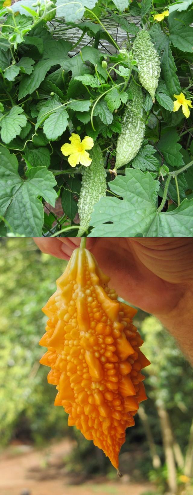 Момордика посадка и уход в открытом грунте полезные свойства