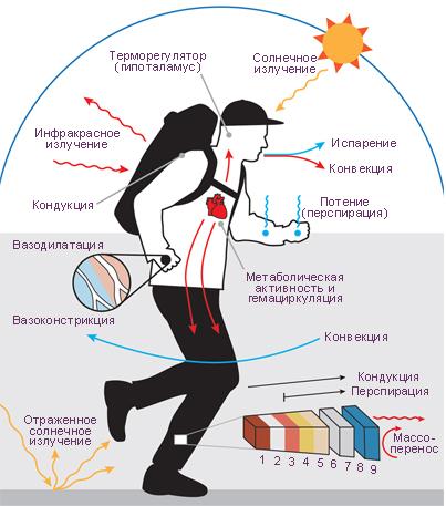 Терморегуляция — википедия. что такое терморегуляция