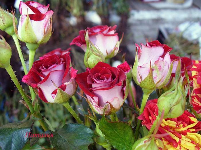 Спрей розы: сорта с фото и особенности выращивания