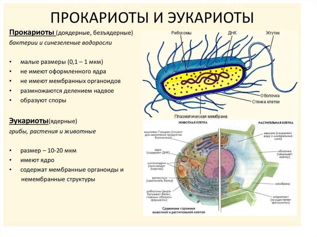 Сходства и различия эукариот, архей, бактерий