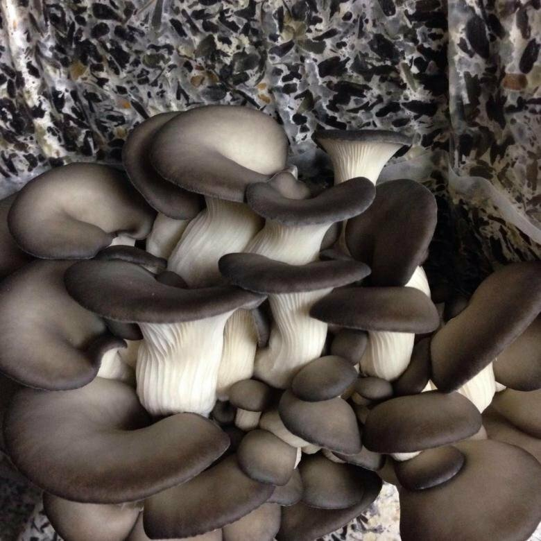 Мицелий грибов – что это, виды, выращивание в домашних условиях своими руками