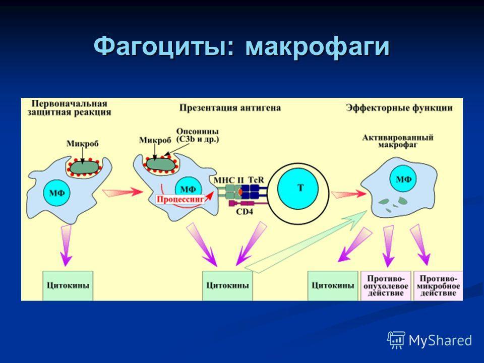 Фагоцитоз — это защитник организма :: syl.ru