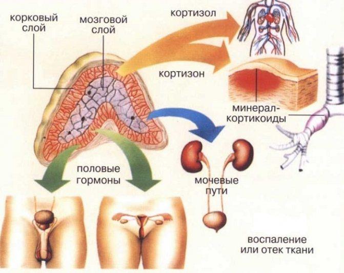 Кортизол – что это за гормон, свойства и способы нормализации его уровня в организме