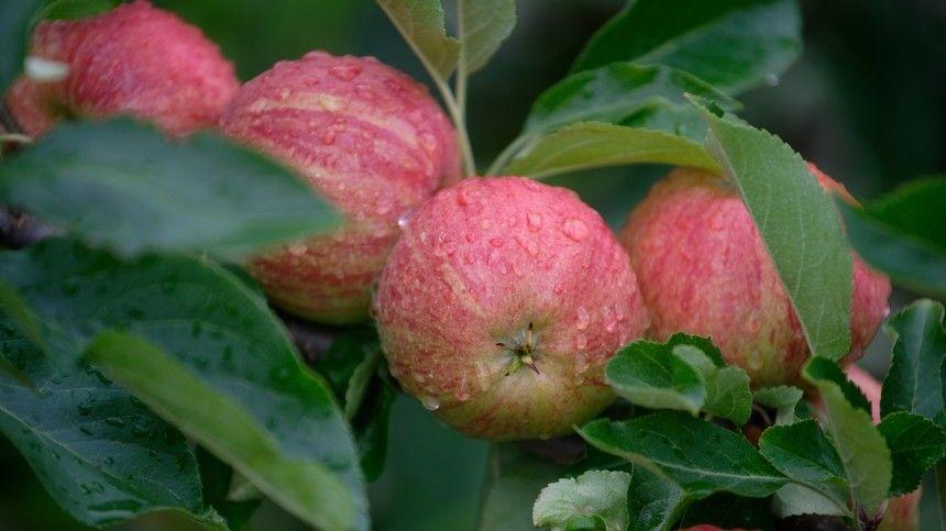 Яблоко — это ягода, овощ или фрукт