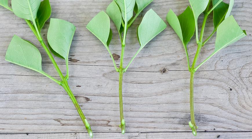 Размножение черенками - простой и бесплатный способ получить растение