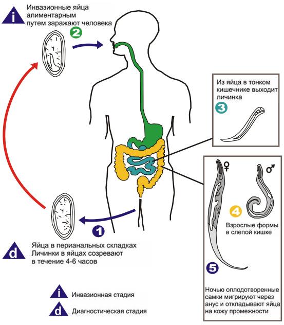 Что такое энтеробиоз? симптомы, пути заражения и лечение
