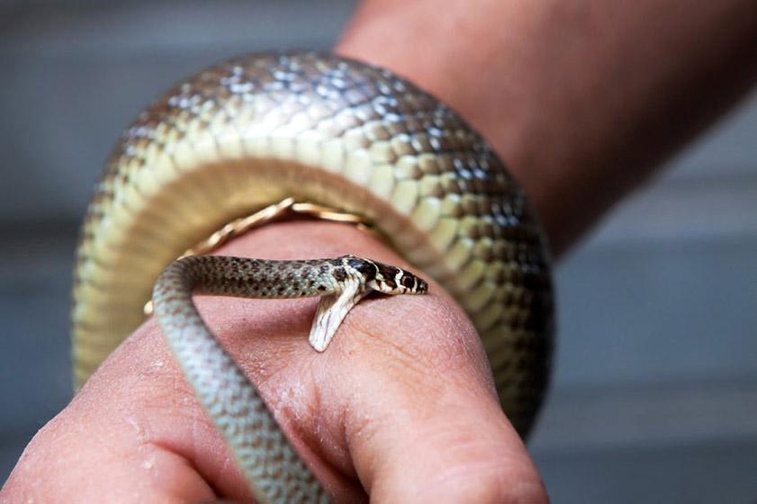 Змеи — циклопедия
