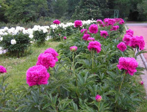 Виды пионов с фото и описаниями. посадка и уход за цветами