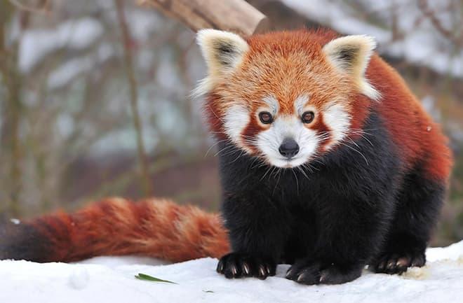 Большая панда или бамбуковый медведь – фото, факты, описание, красная книга