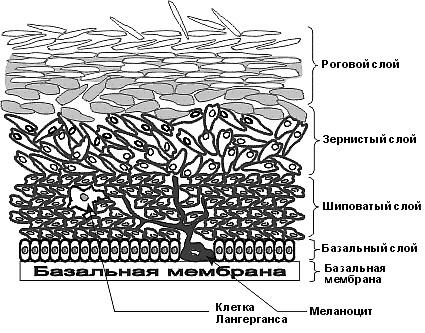 Строение кожи. эпидерма