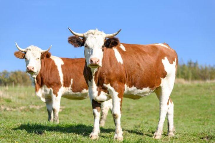 Разведение крупного рогатого скота: особенности и перспективы — cельхозпортал