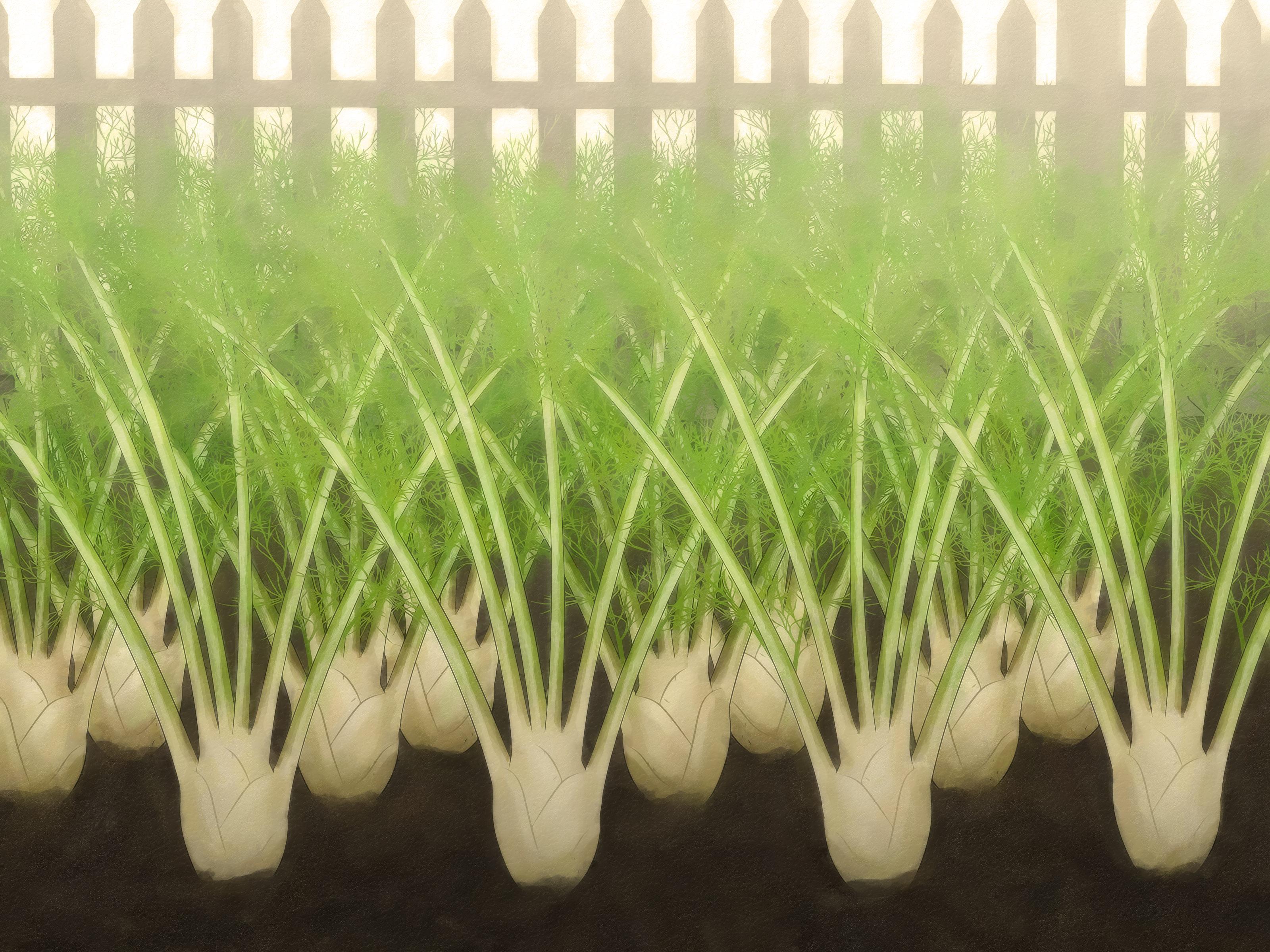 Фенхель обыкновенный и овощной: что это такое, каковы другие названия растения, какие у него корни и цветки, как трава выглядит на фото, есть ли разница с анисом?