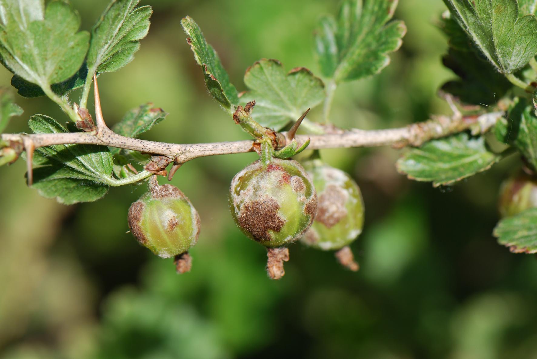 Болезни смородины: белый налет на листьях. как лечить заболевание, профилактика белого налёта на смородине: советы