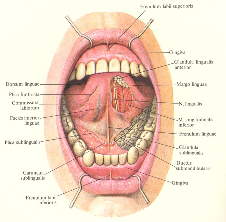 Лёгочная альвеола