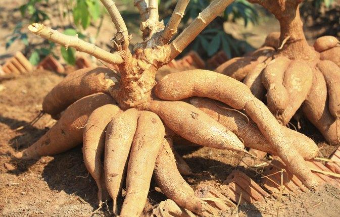 Маниока: что это такое, в чем разница между ней и тапиокой, как использовать корни и другие части культуры, а также фото, свойства, инструкция по выращиванию и уходу