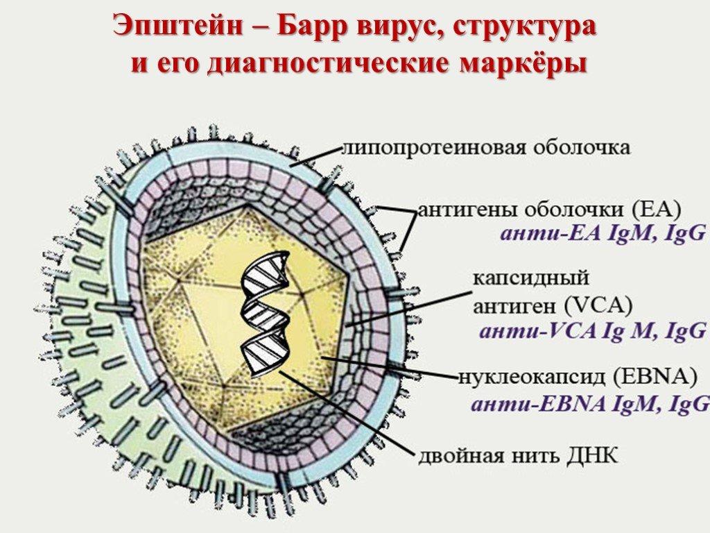 Вирус эпштейна-барра - описание, патогенез, симптомы, диагностика, лечение.