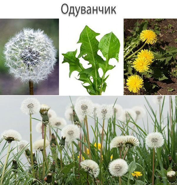 Одуванчик п — растение-целитель помощь костям и суставам