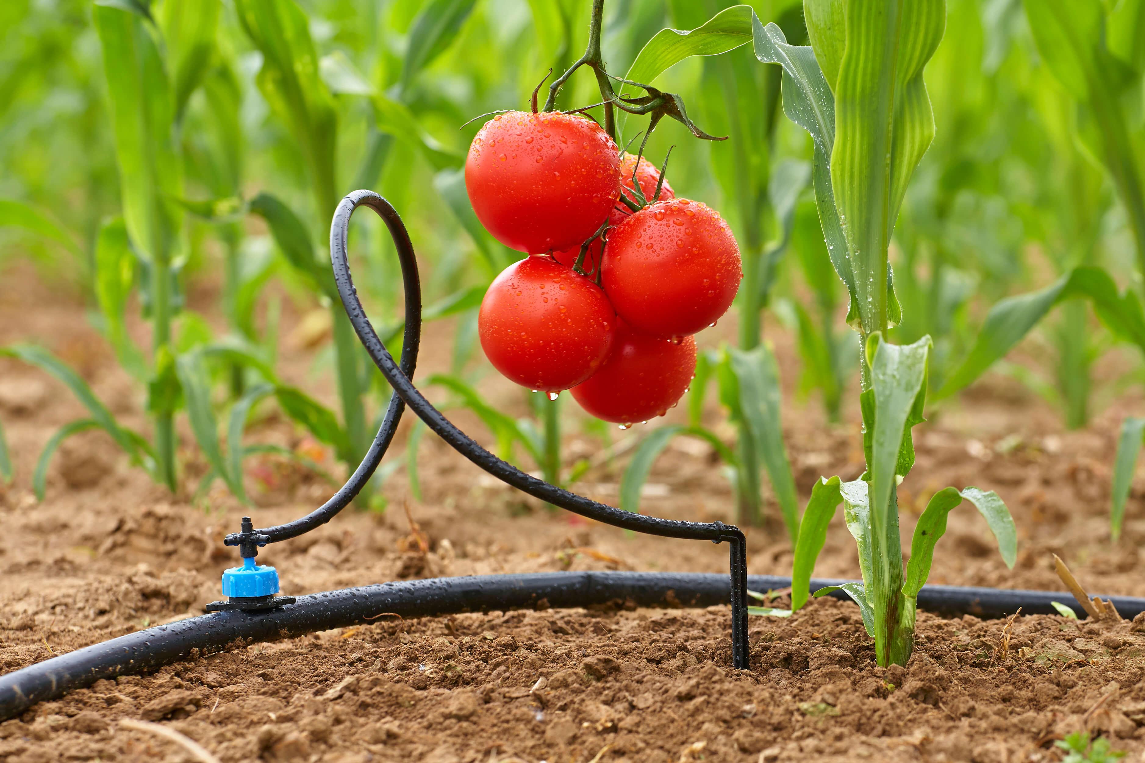 Как сделать капельный полив для огорода своими руками