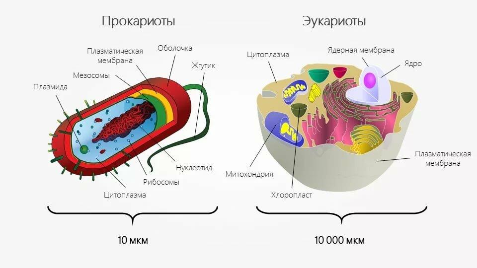 Прокариоты - вики
