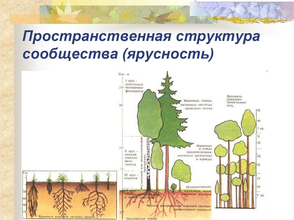 Ярусность – это что? как проявляется ярусность биоценоза?