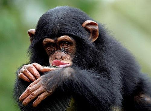 Обезьяны — википедия. что такое обезьяны