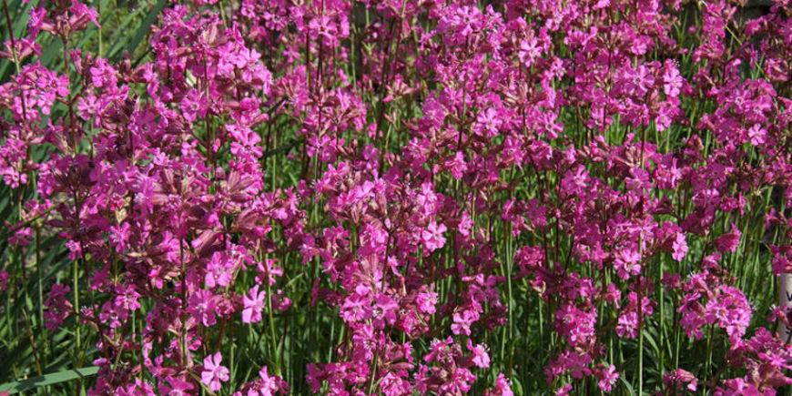 Вискария (смолка): описание, фото цветка-многолетника, посадка, уход в открытом грунте