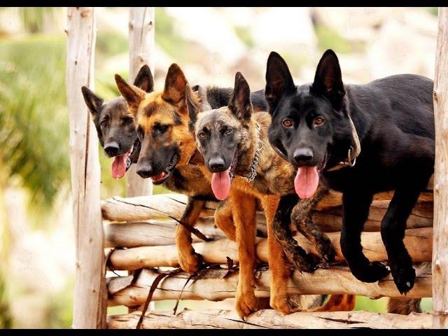 Течка у собак — признаки, этапы, периодичность