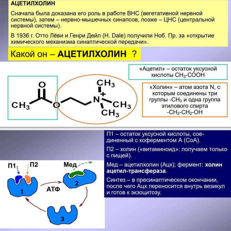 Функция ацетилхолина и механизм действия / нейропсихология   thpanorama - сделайте себя лучше уже сегодня!