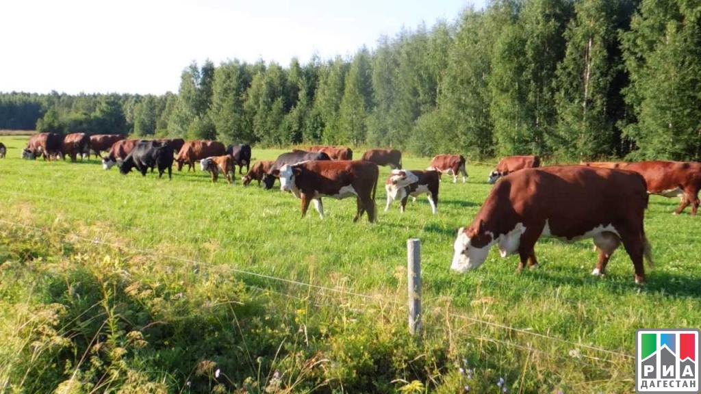 Крс (крупный рогатый скот)