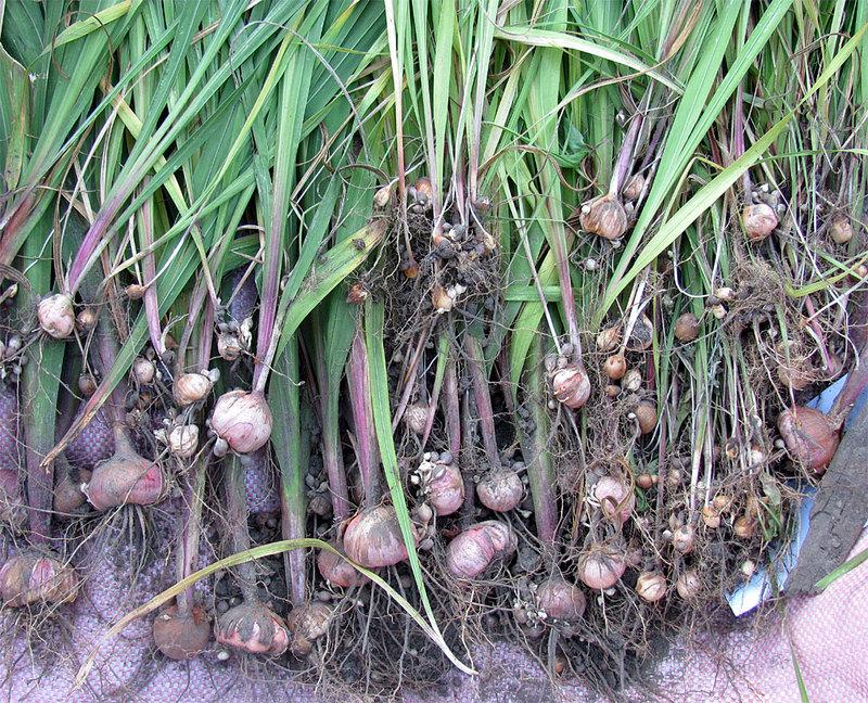 Гладиолусы: посадка и уход в открытом грунте, как хранить зимой